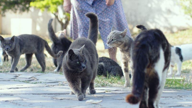 Mulher que alimenta gatos desabrigados imagem de stock