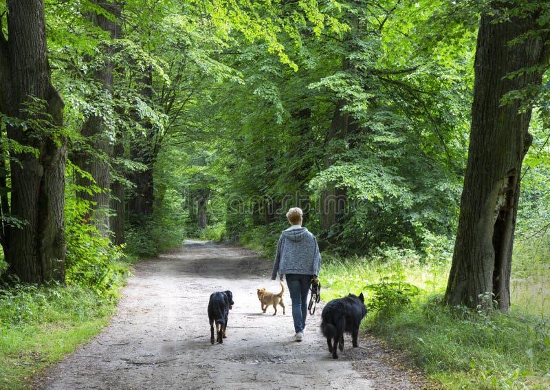 Mulher que anda com os três cães na estrada secundária suja imagem de stock