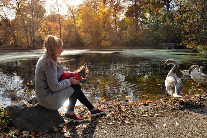 Mulher que anda com um cão pequeno perto do lago bonito com cisnes imagem de stock royalty free