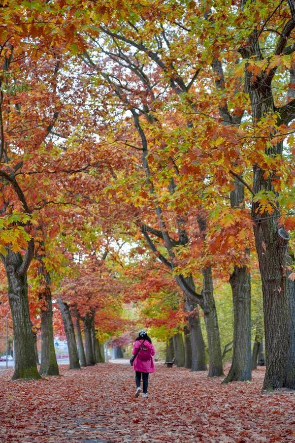 Mulher que anda entre ?rvores vermelhas e amarelas coloridas da folha no jardim durante o outono em Wilhelm Kulz Park em Leipzig, foto de stock royalty free