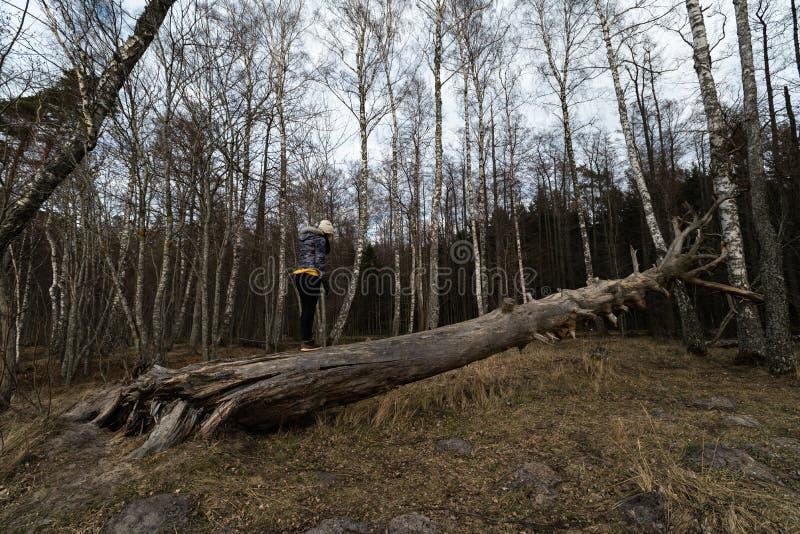 Mulher que escala em uma árvore caída em uma floresta na praia perto do mar Báltico imagem de stock royalty free