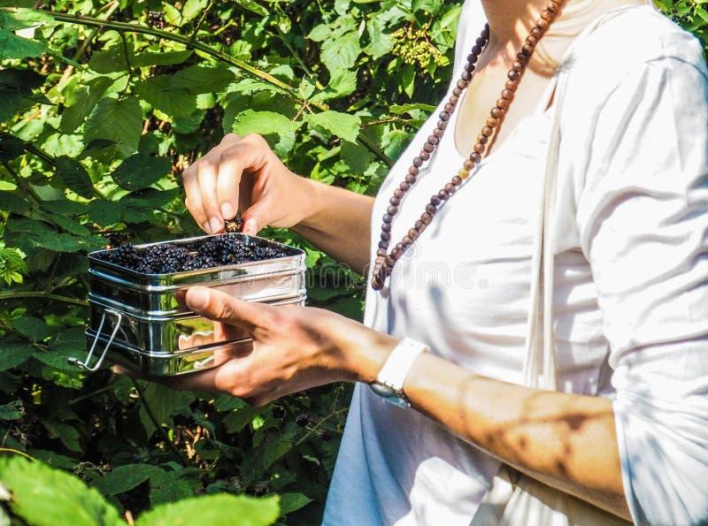 Mulher que escolhe amoras-pretas selvagens e que põe as em uma lancheira de aço inoxidável fotografia de stock