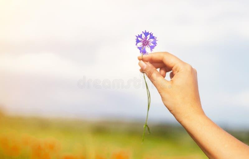 Mulher que guarda a flor do milho do verão no campo Fundo borrado das papoilas fotos de stock