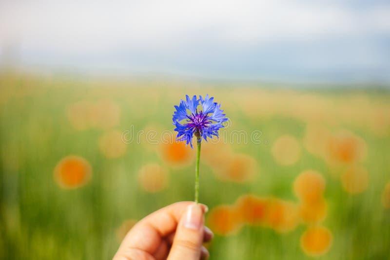 Mulher que guarda a flor do milho do verão no campo Fundo borrado das papoilas foto de stock