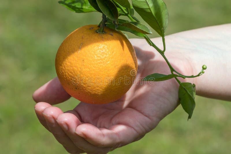 Mulher que guarda laranjas maduras fotografia de stock