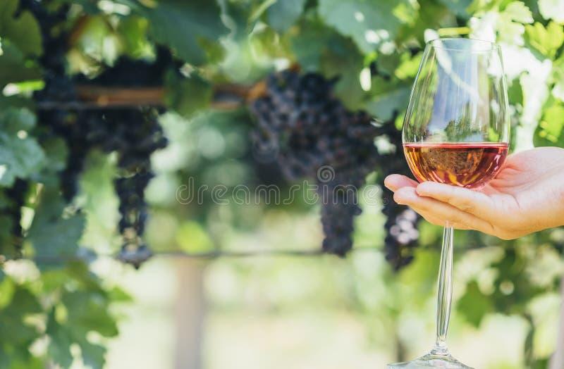 Mulher que guarda o vidro do vinho tinto no campo do vinhedo Degusta??o de vinhos na adega exterior imagem de stock