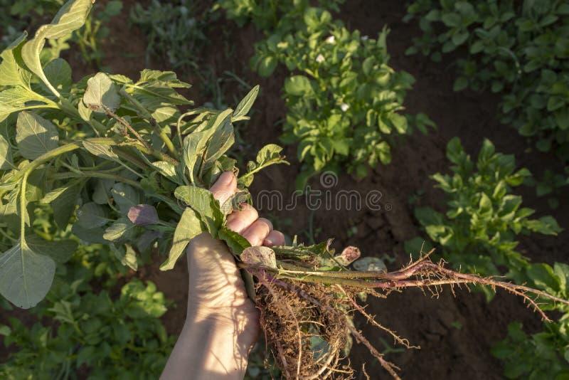 Mulher que guarda um punhado das ervas daninhas do jardim - mãos somente imagem de stock royalty free