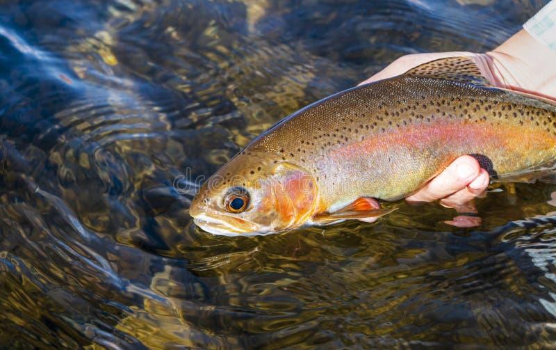 Mulher que libera a pesca com mosca travada truta arco-íris imagem de stock royalty free