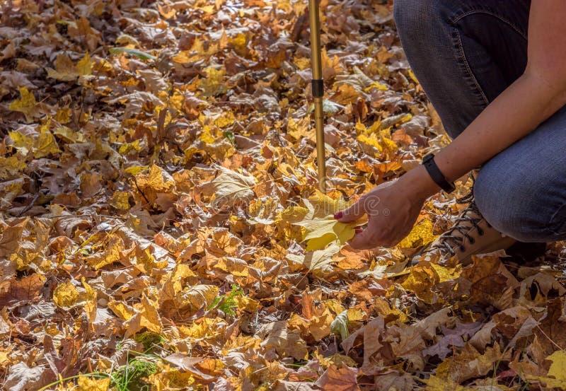 Mulher que pegara as folhas de bordo amarelas brilhantes no outono imagens de stock royalty free