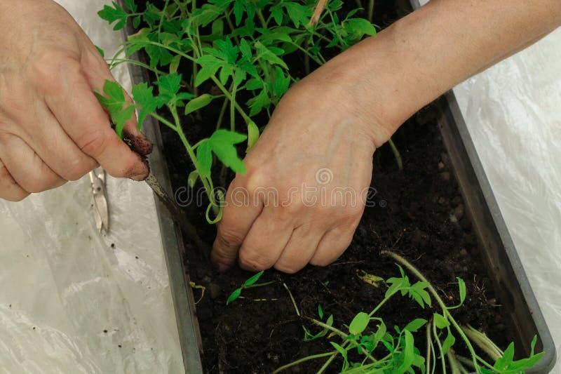 Mulher que planta plântulas do tomate na terra Mãos, close-up fotos de stock royalty free