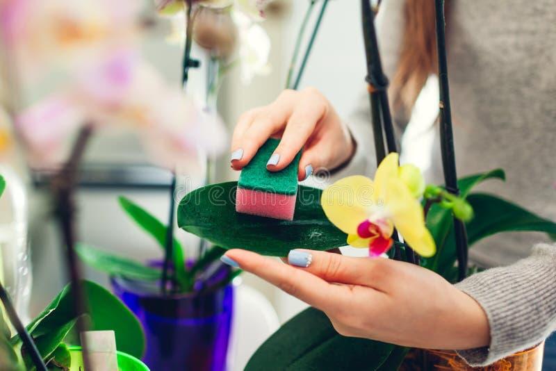 Mulher que remove a poeira das folhas da orquídea com a esponja Houswife que toma de plantas da casa imagens de stock