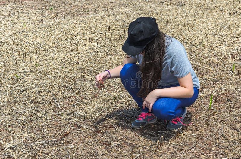 Mulher que verifica a raiz do feijão de soja após a colheita fotografia de stock