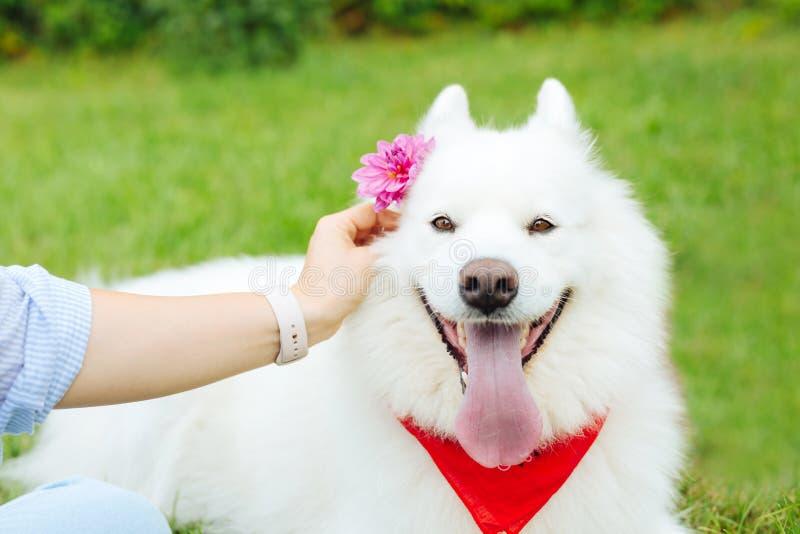Mulher que veste o relógio bege que coloca a flor cor-de-rosa atrás da orelha do cão foto de stock royalty free