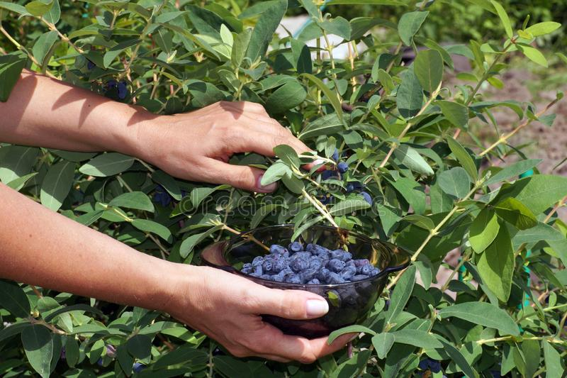 A mulher recolhe bagas de Kamchatka honeyberry dos arbustos Uma planta frutificando adiantada imagem de stock royalty free