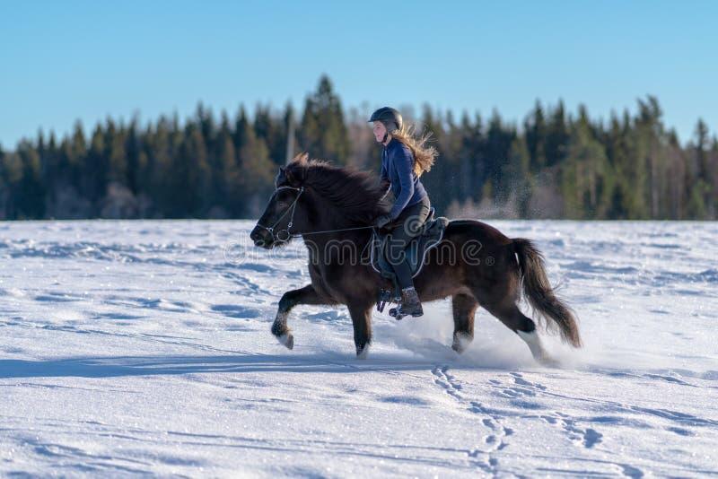 Mulher sueco que monta seu cavalo islandês na neve profunda foto de stock