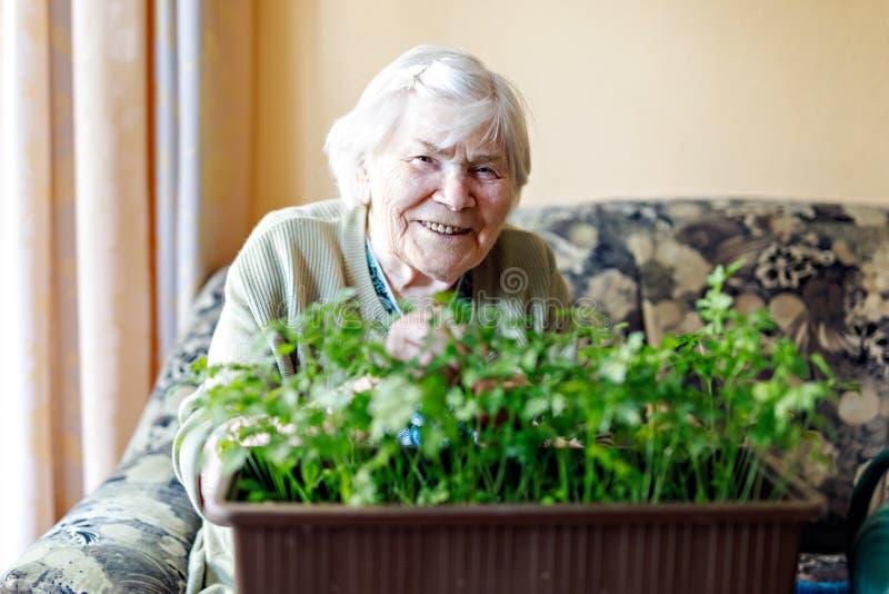 A mulher superior ativa de 90 anos que molham plantas da salsa com água pode em casa Senhora aposentada feliz fotografia de stock