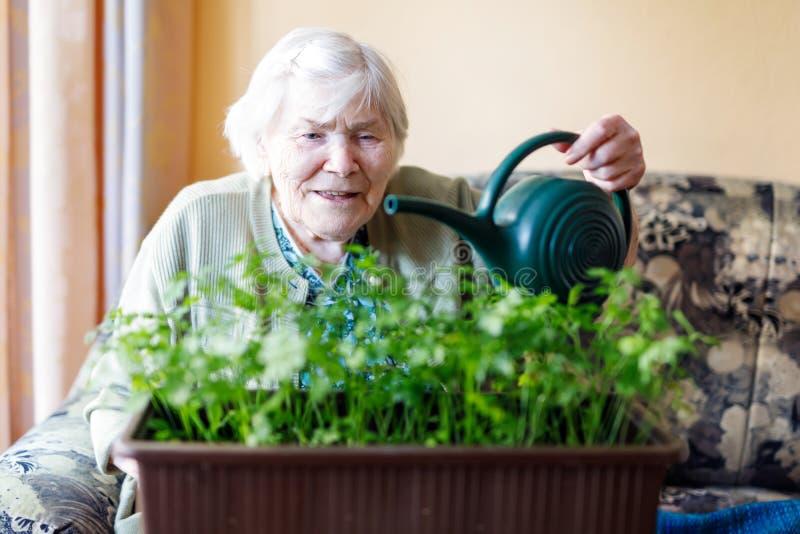 A mulher superior de 90 anos que molham plantas da salsa com água pode em casa fotografia de stock