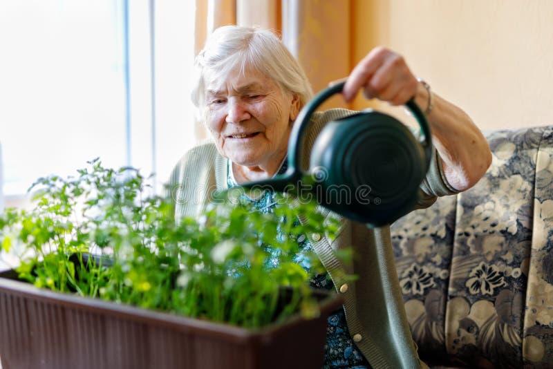 A mulher superior de 90 anos que molham plantas da salsa com água pode em casa fotos de stock royalty free