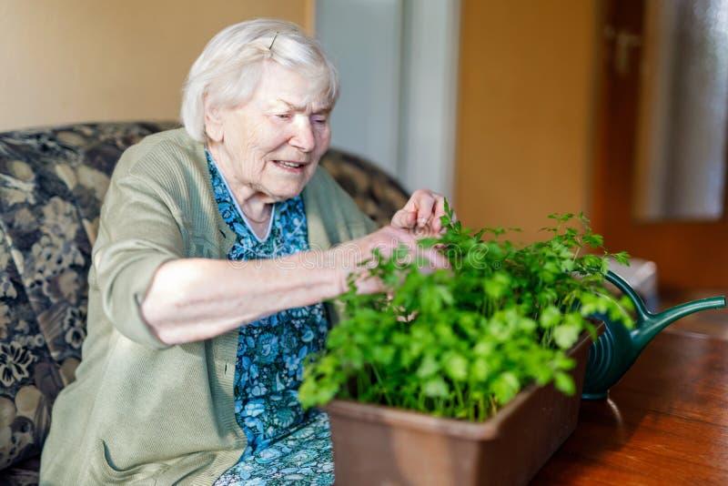 A mulher superior de 90 anos que molham plantas da salsa com água pode em casa fotos de stock
