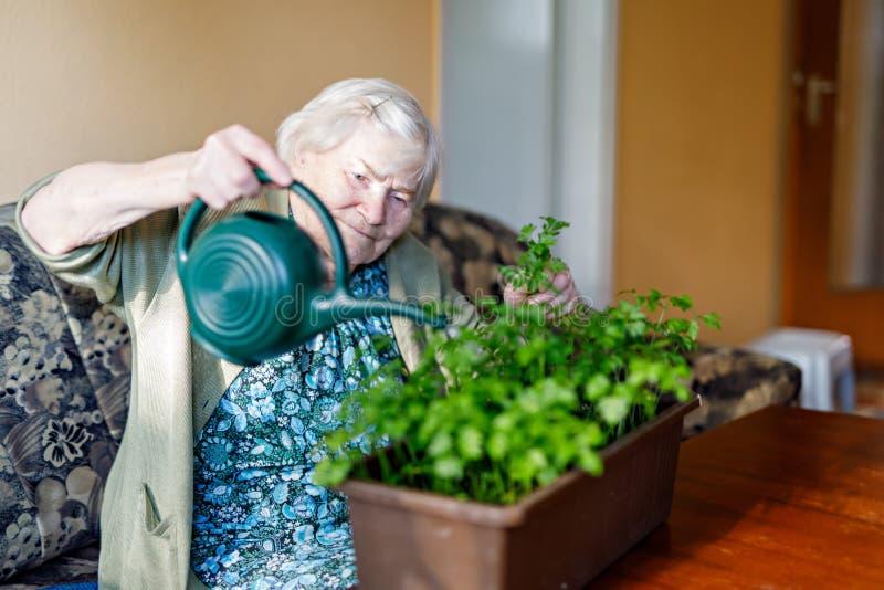 A mulher superior de 90 anos que molham plantas da salsa com água pode em casa imagem de stock royalty free
