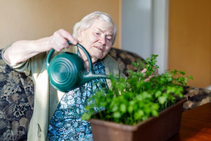 A mulher superior de 90 anos que molham plantas da salsa com água pode em casa imagem de stock
