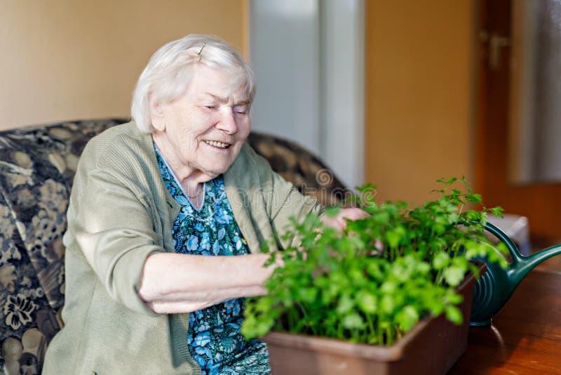 A mulher superior de 90 anos que molham plantas da salsa com ?gua pode em casa imagem de stock royalty free
