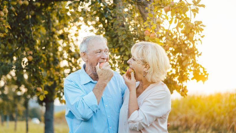 Mulher superior e homem que apreciam uma maçã no por do sol do fim do verão foto de stock
