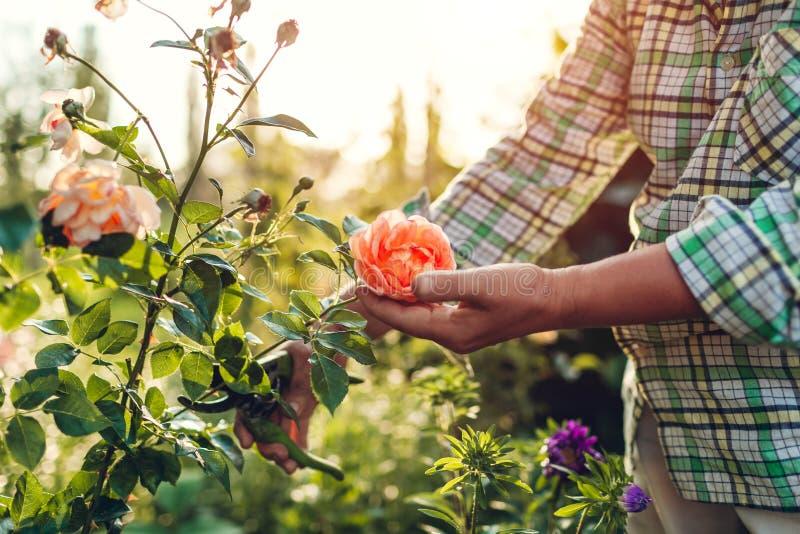 Mulher superior que recolhe flores no jardim Rosas de meia idade do corte da mulher fora Conceito de jardinagem foto de stock