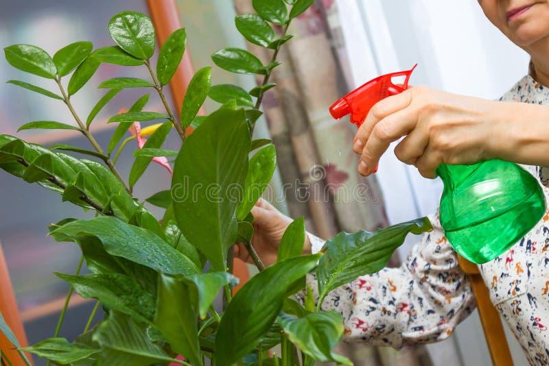 Mulher superior que toma das plantas em sua casa, planta verde de pulverização com água pura imagem de stock royalty free