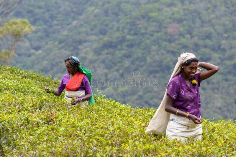 Mulheres do Tamil que trabalham manualmente na plantação de chá foto de stock royalty free
