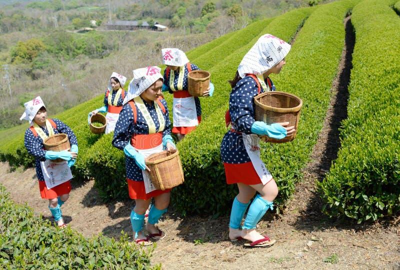 Mulheres japonesas que colhem as folhas de chá imagens de stock