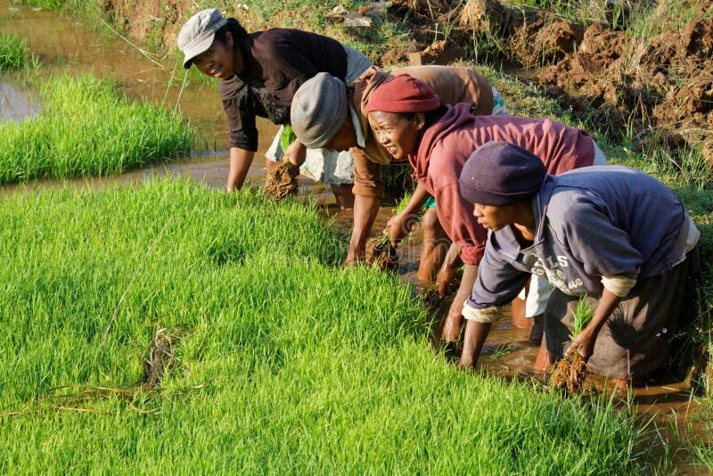 Mulheres no trabalho nos campos do arroz fotografia de stock