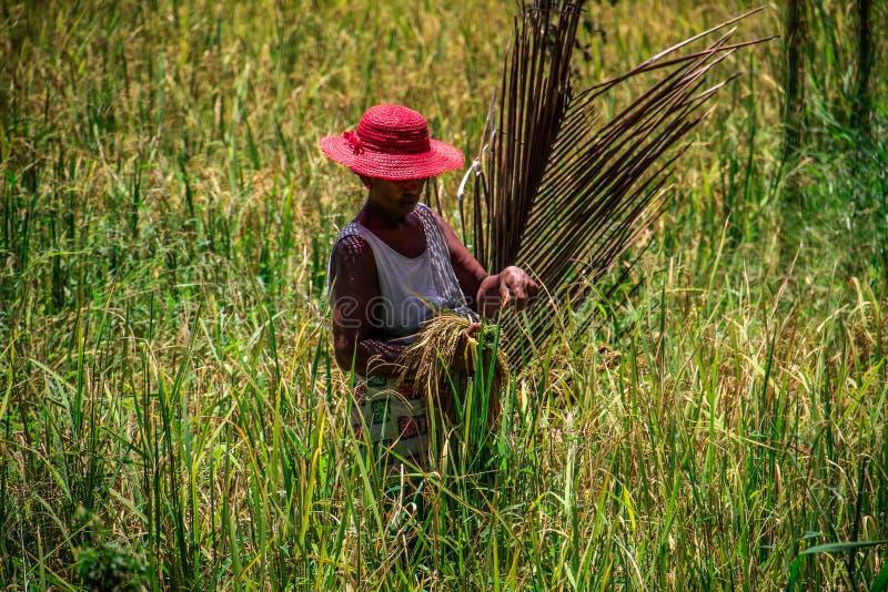 Mulheres que colhem cereais, Ile Nattes auxiliar, Toamasina, Madagáscar imagens de stock