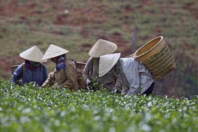 Mulheres que escolhem o chá foto de stock royalty free