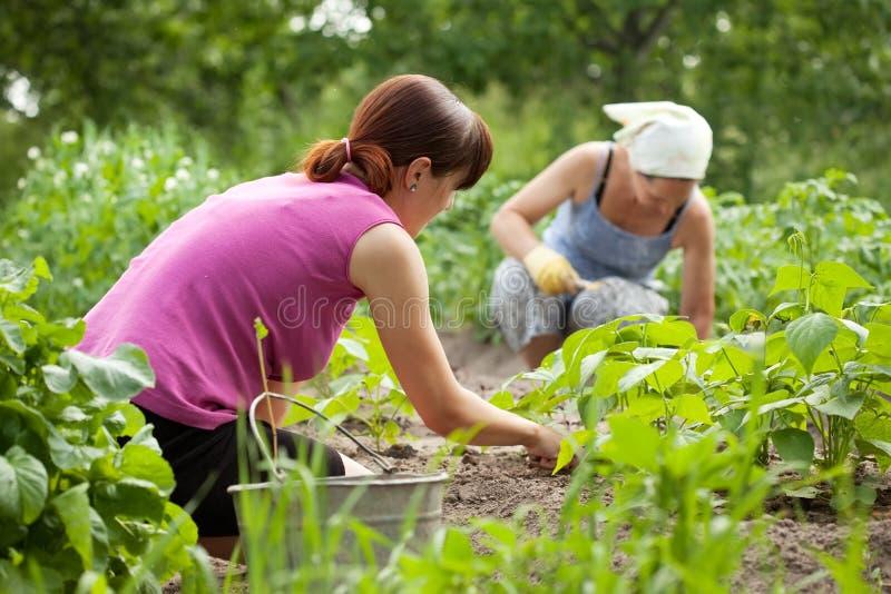Mulheres que trabalham no jardim vegetal imagem de stock