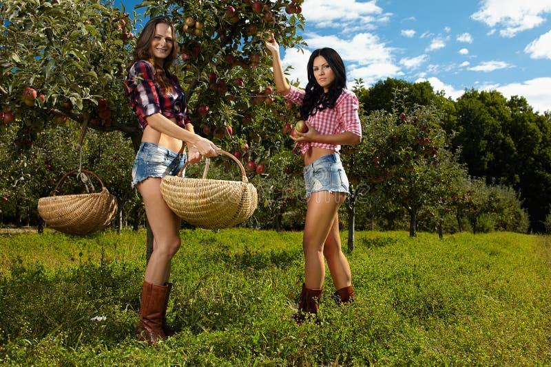 Mulheres 'sexy' que escolhem maçãs imagem de stock
