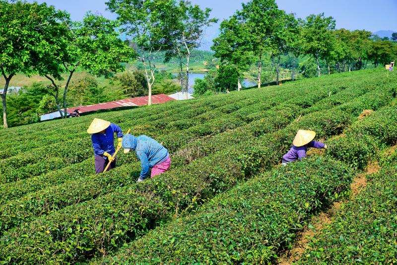 Mulheres vietnamianas que trabalham em campos do chá imagens de stock royalty free