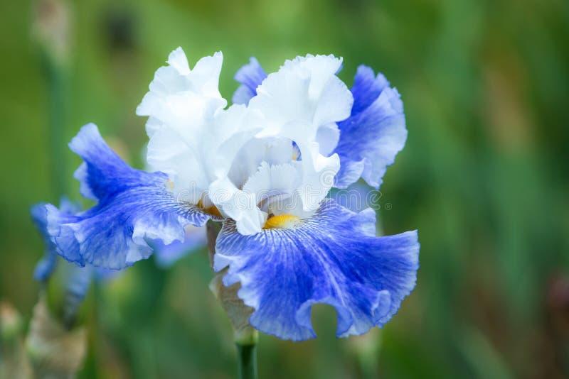 Muli a coloré la fleur d'iris photos stock