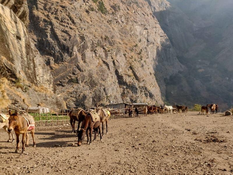Muli ed asini che pascono in un campo aperto fotografia stock libera da diritti