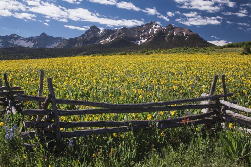 Muli gialli vicino al campo, al recinto occidentale ed a San Juan Mountains, MESA di Hastings, vicino all'ultimo ranch del dollar fotografia stock libera da diritti