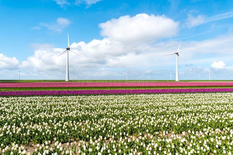 Mulini a vento sul campo del tulipano immagini stock