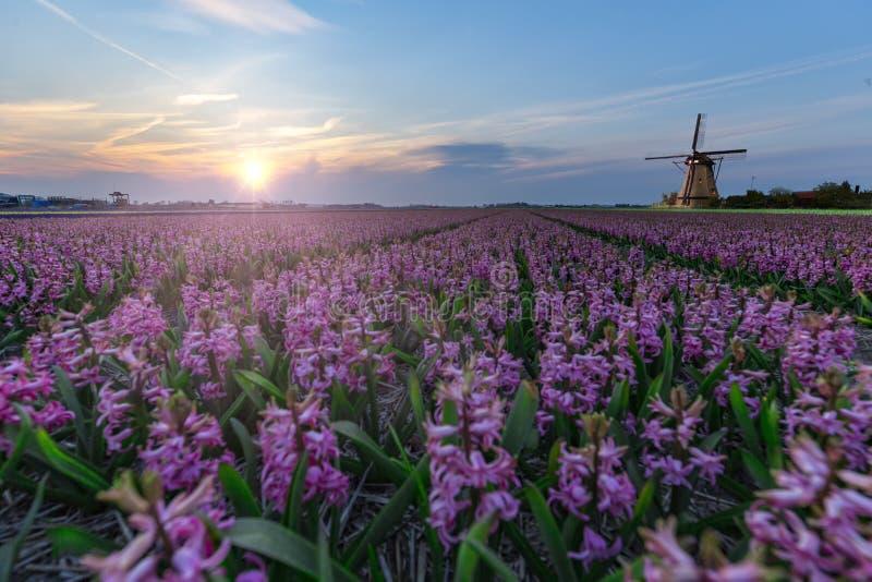 Mulino a vento all'azienda agricola della lampadina del giacinto fotografia stock libera da diritti