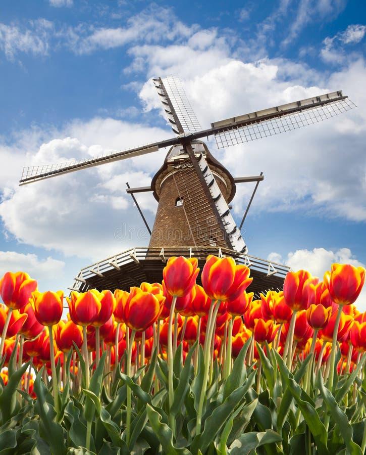 Mulino a vento con i tulipani, Olanda immagine stock