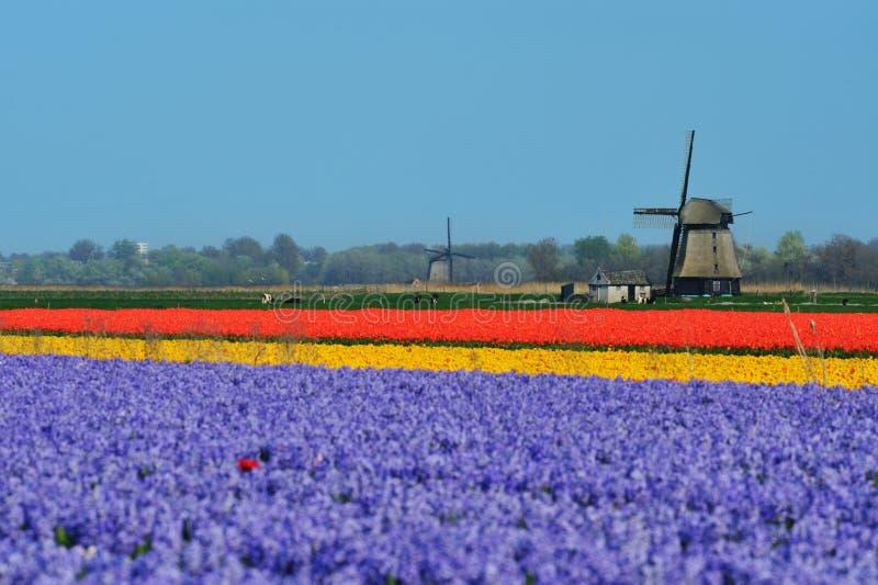 mulino a vento dei tulipani immagine stock