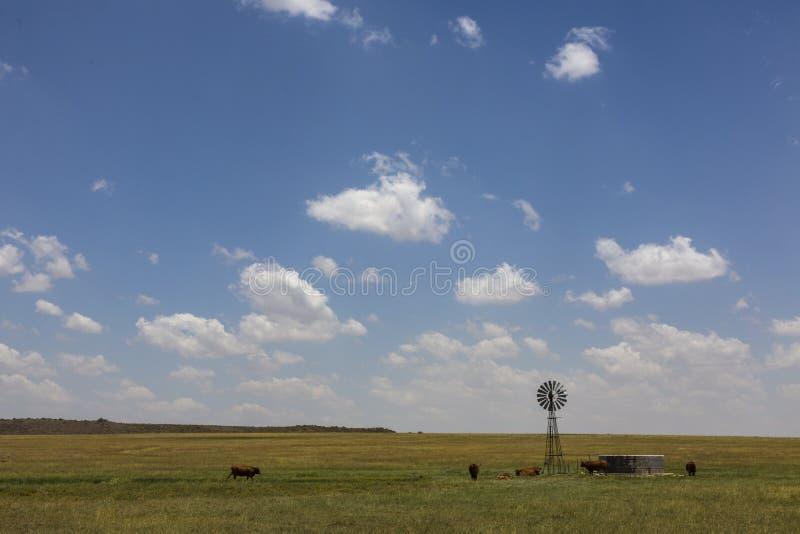 Mulino a vento e mucche immagini stock