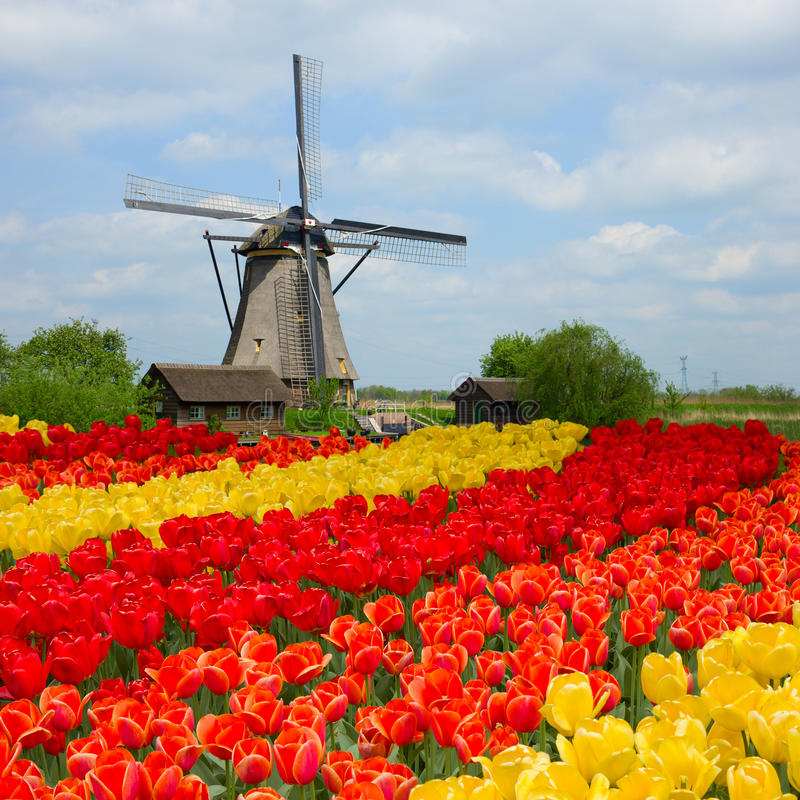 Mulino a vento olandese sopra il campo dei tulipani fotografia stock libera da diritti
