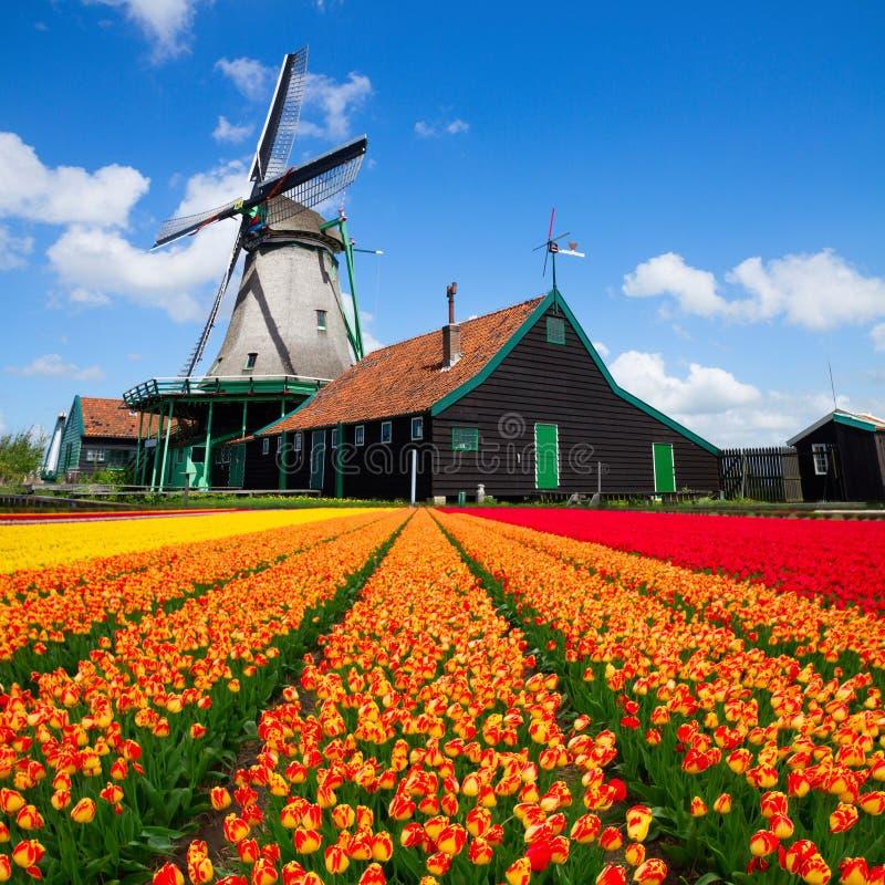 Mulino a vento olandese sopra il campo dei tulipani fotografia stock