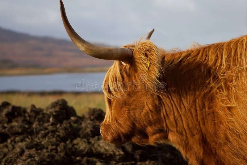 Mull Highland Cow stock photography