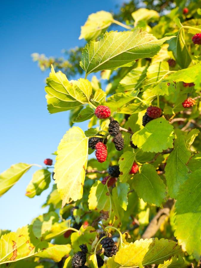 mullbärsträd royaltyfri bild