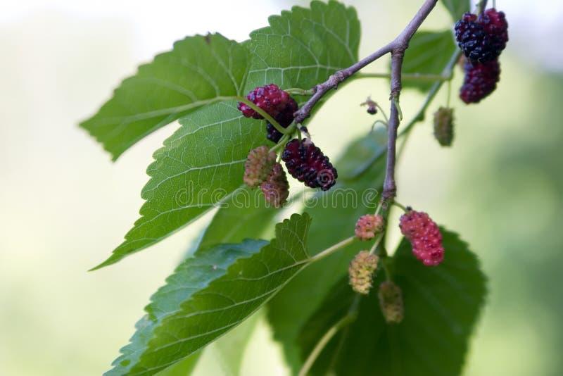 mullbärsträd arkivfoto